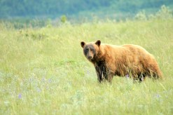 Bear in the Meadow