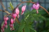 Bleeding Heart, Spring