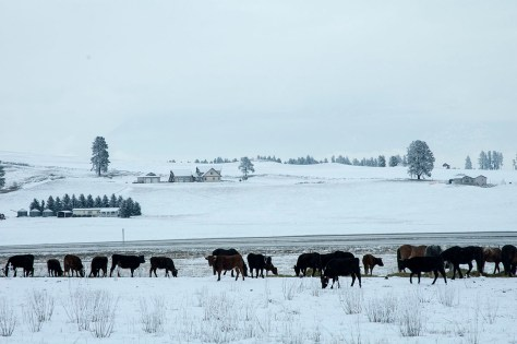Cows Lined Up in Pasture - Long View