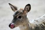 Deer Smacking Her Lips