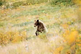 Standing Young Grizzly, Fall, Waterton