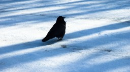 Raven with Shadows