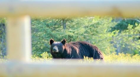 Bear Peaking Through Fence, Polebridge