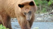 Shy Bear