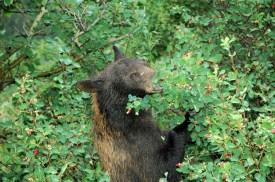 Berry Picking Bear