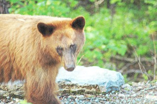 Brown Bear with Effects