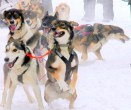 Flathead-Sled-Dog-Days-4-Close-Up1-685x576