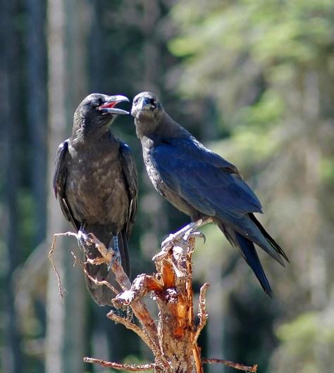 Raven Chat