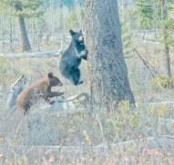 Two Baby Bears, Climbing Tree