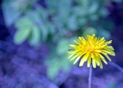 Dandelion with blue background