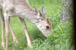 Deer Munching Grass