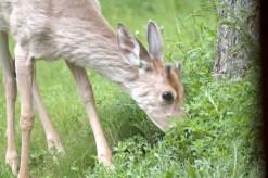 Deer Munching Grass