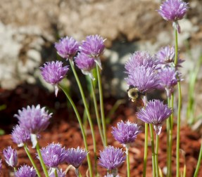 Purple Flowers with Bumble Bee