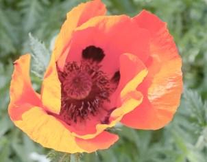 Red Flower, Spring