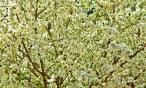 Spring, White Blossoms, Tree copy