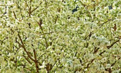 Spring, White Blossoms, Tree copy