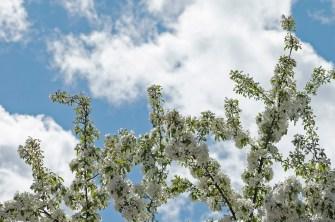 White Buds, Blue Sky, Clouds