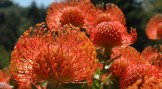 Big-Sur-Red-Flowers-Close-Up-1038x576