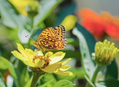 Butterfly on Yellow Flower2