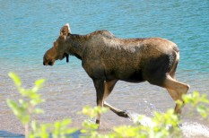 Moose, Cameron Lake