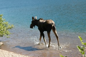 Moose, Cameron Lake 8