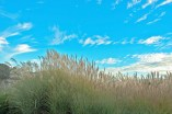 Grasses, Blue Sky, Clouds, Holman Ranch