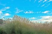 Grasses, Blue Sky, Clouds, Holman Ranch