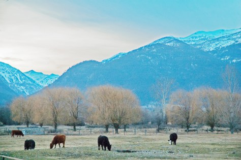 Sunset, Bitterroot Mountains, Stevensville, Cows