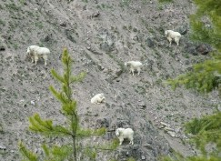 Mountain Goats, Goat Lick, Spring