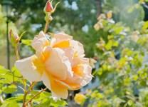 Perfect Rose, Pink, San Francisco