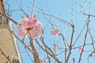 Pink Flowers, Tree, San Francisco