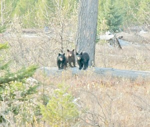 Three Baby Bears