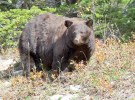 big-bear-looking-to-the-side-fall