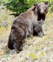 Healthy Grizzly