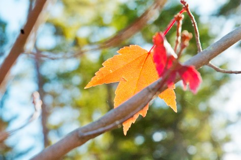 one-red-maple-leaf