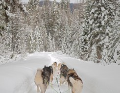 Dog Sled Dogs, Trees, Snow
