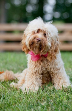 Sweet Carolina Labradoodle - Blog