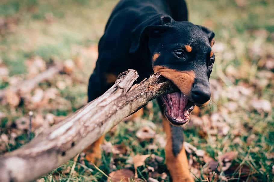 dog is chewing wood