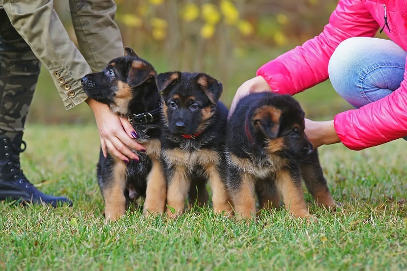 care for Shepherd puppies