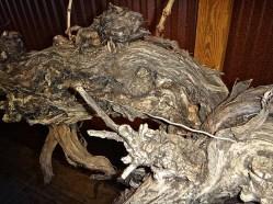 The cordons of the Cabernet Sauvignon vine grow around the guide wire.