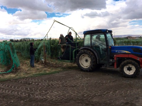 Putting netting over grape vines.