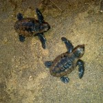Jamaican Sea Turtles