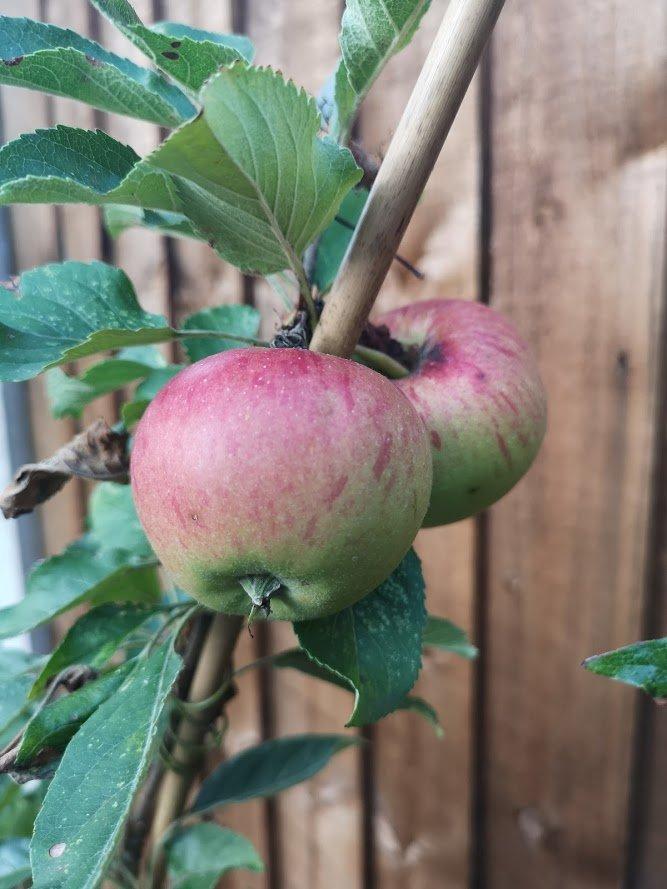 apple fiesta