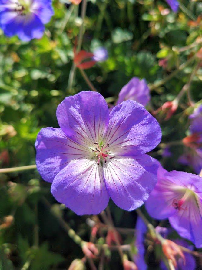 geranium azure rush