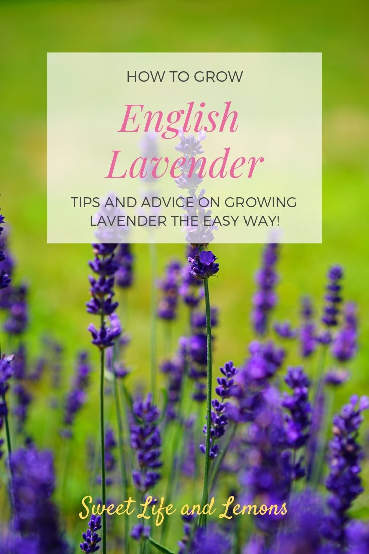 How to grow English lavender