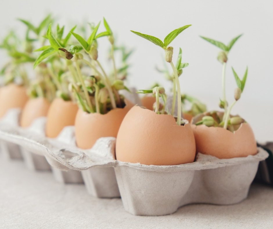seedlings in eggshells