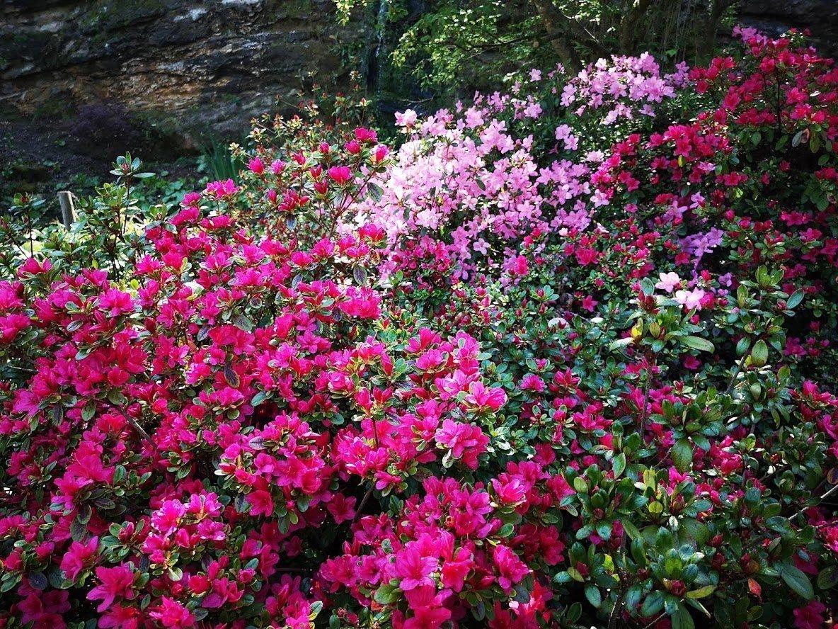 Hever castle azaleas