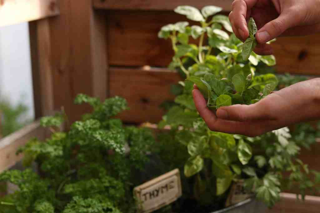 sweet lizzy herb garden