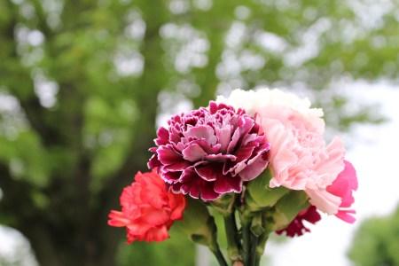 Carnation 1