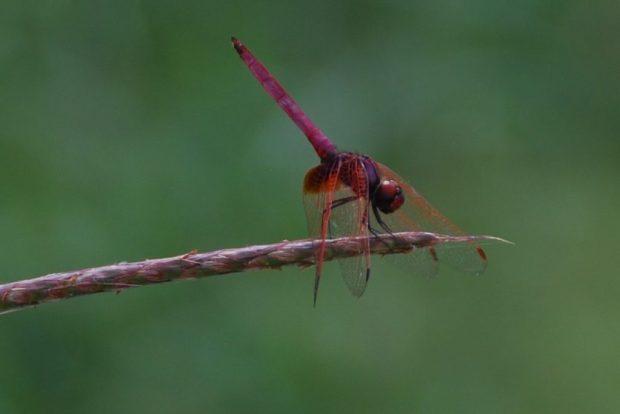 libellule-cambodge-trithemis-aurora